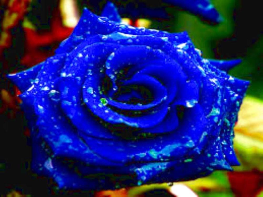 La Leggenda Della Rosa Blu Amore Tarocchi